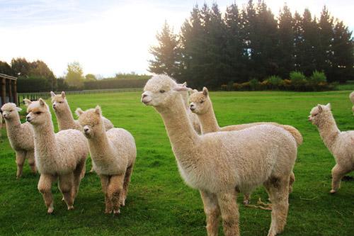 草泥马的方块之旅 我的世界0.16或加入羊驼